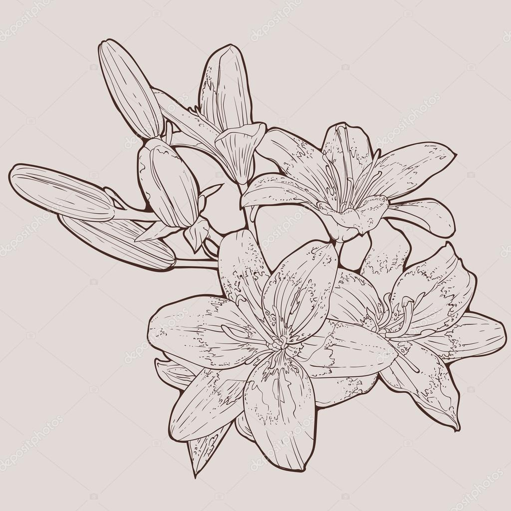 Lily flowers vector hand drawn illustration on white background