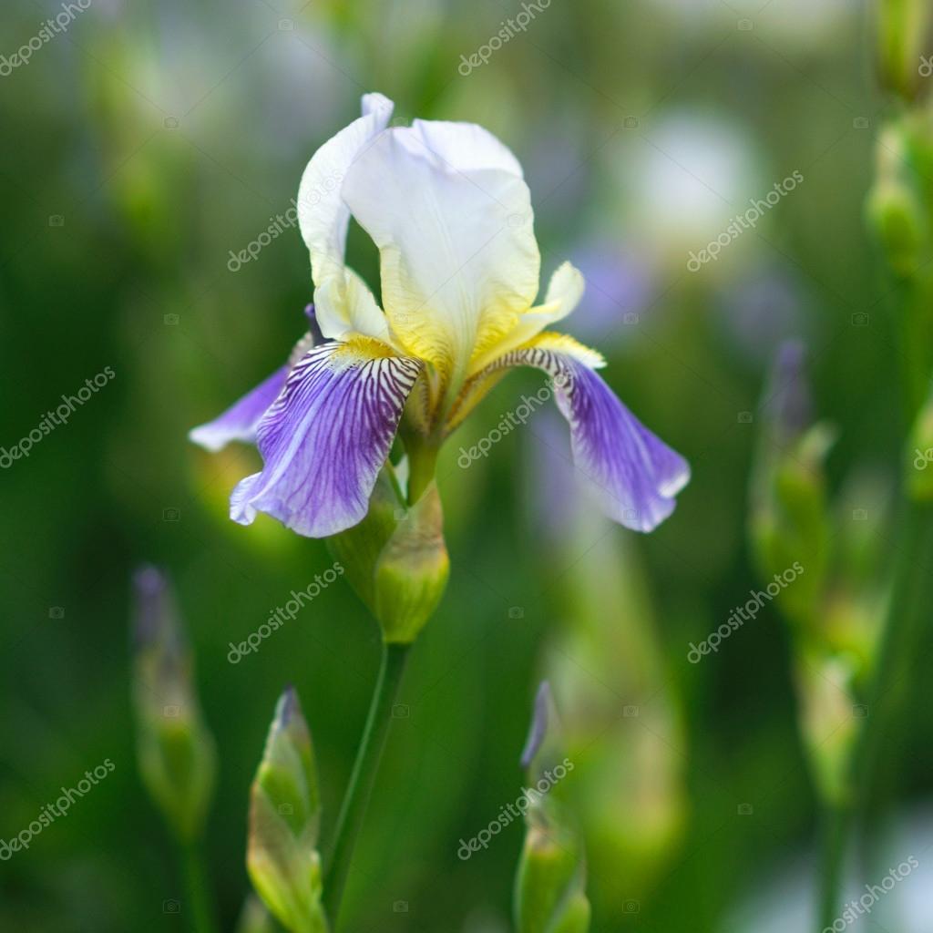 Close up of spring beautiful purple iris flowers stock photo close up of spring beautiful purple iris flowers stock photo izmirmasajfo