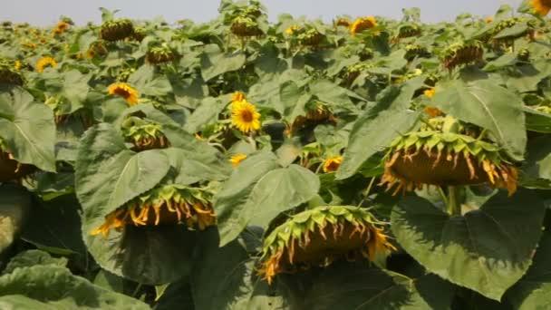 Krásné slunečnice pole v létě - skladem Video