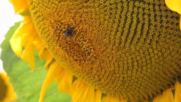 Včela opyluje slunečnice. Krásné slunečnice pole v létě - skladem Video