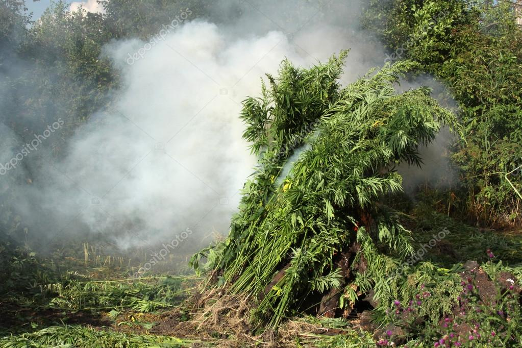 Burning of illicit crops of marijuana. Destruction of marijuana  - Stock Image