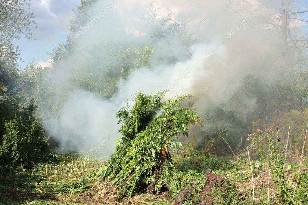 Burning of illicit crops of marijuana. Destruction of marijuana. Cannabis.  - Stock Image