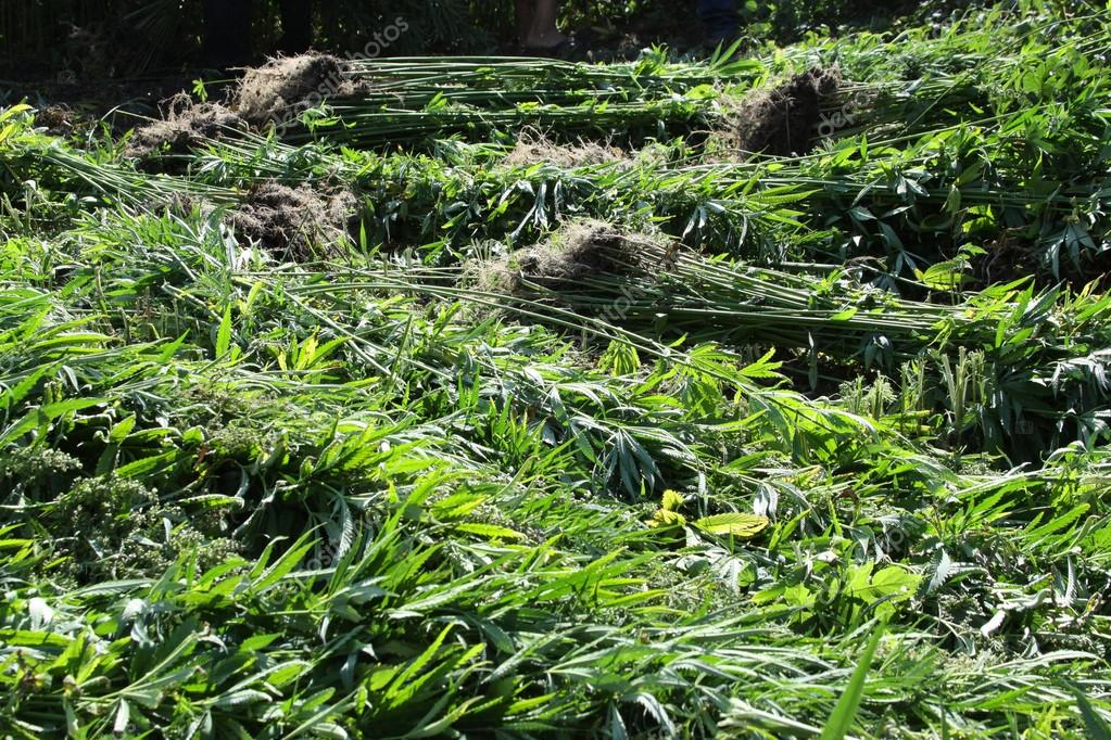 Cannabis. Abandoned land with natural grown marijuana. Marijuana Plantation. Hemp plants  - Stock Image