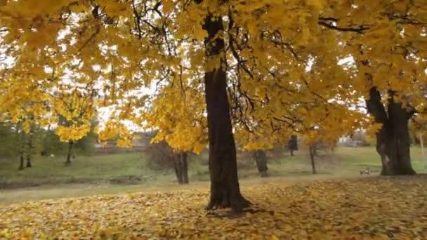 Őszi Park. Arany ősz. Sárga levelek. Ősszel jellegzetes ukrán jellege. -Raktárkészletek videóinak