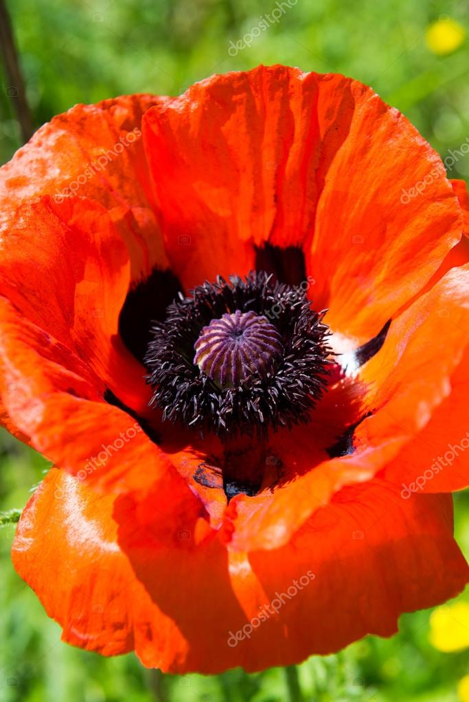 Poppy Seed Flower Stock Photo Stockwithme 76899555