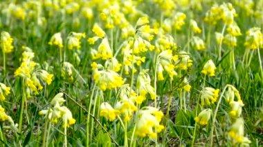 gelbe wiesenblumen schwanken im wind viele gelbe blumen. Black Bedroom Furniture Sets. Home Design Ideas