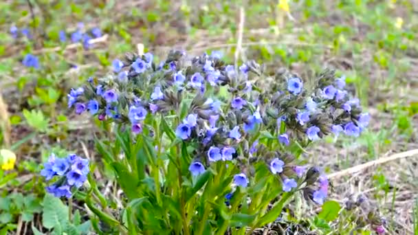 Blue meadow flowers sway in the wind. Evening of summer day.