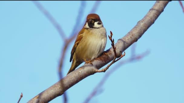 Pták - vrabec bělavý (Passer montanus) sedí za slunečného podzimního dne na větvi keře. Detailní záběr.
