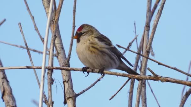 Vogel - Rotkehlchen (Acanthis flammea) sitzt an einem sonnigen Herbsttag auf einem Buschwerk. Nahaufnahme.