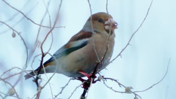 Pták - Hawfinch (Coccothraustes coccothraustes) sedí na keři a jí divoké bobule. Mračný zimní den, slabá mlha. Detailní záběr.