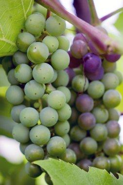 Matures new grape harvest.