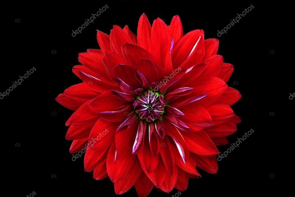 На черном фоне красный цветок