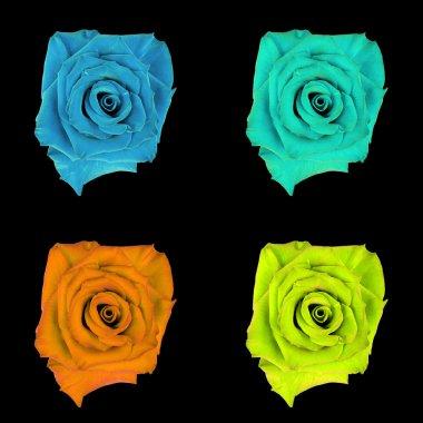 Rose flower, black isolated background. Macro.  Yellow,  blue, cyan, aquamarine, orange.