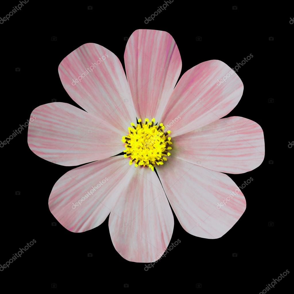 Flower, black isolated background with clipping path.  Nature. Closeup with no shadows.