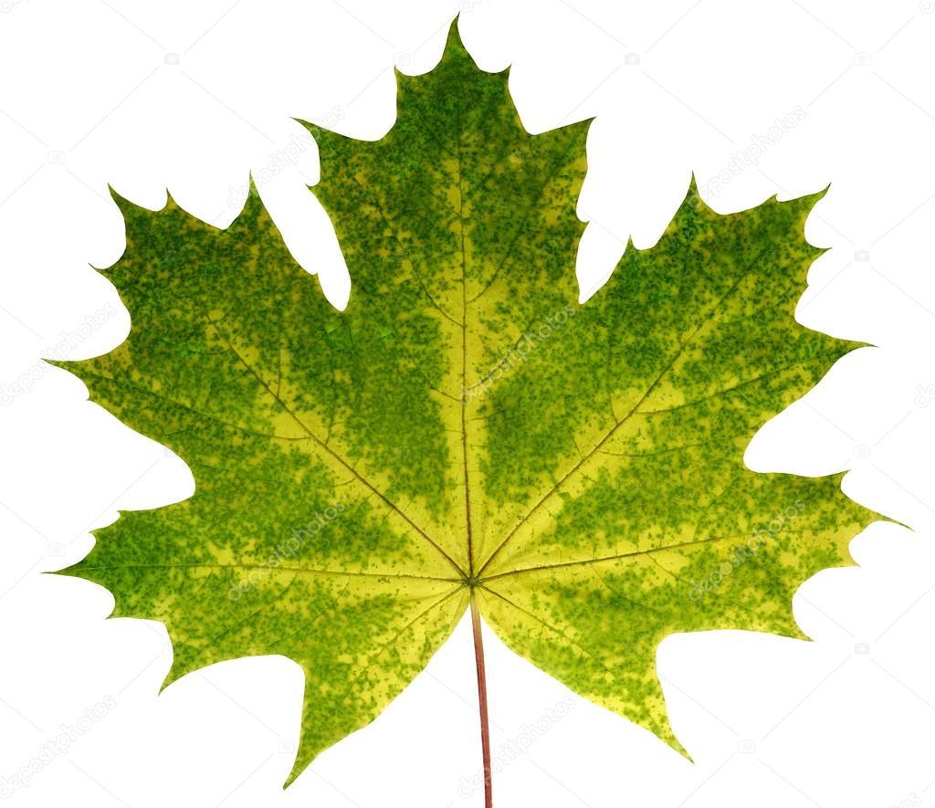Im genes sin naturaleza arce de oto o hoja sobre fondo - Descargar autumn leaves ...