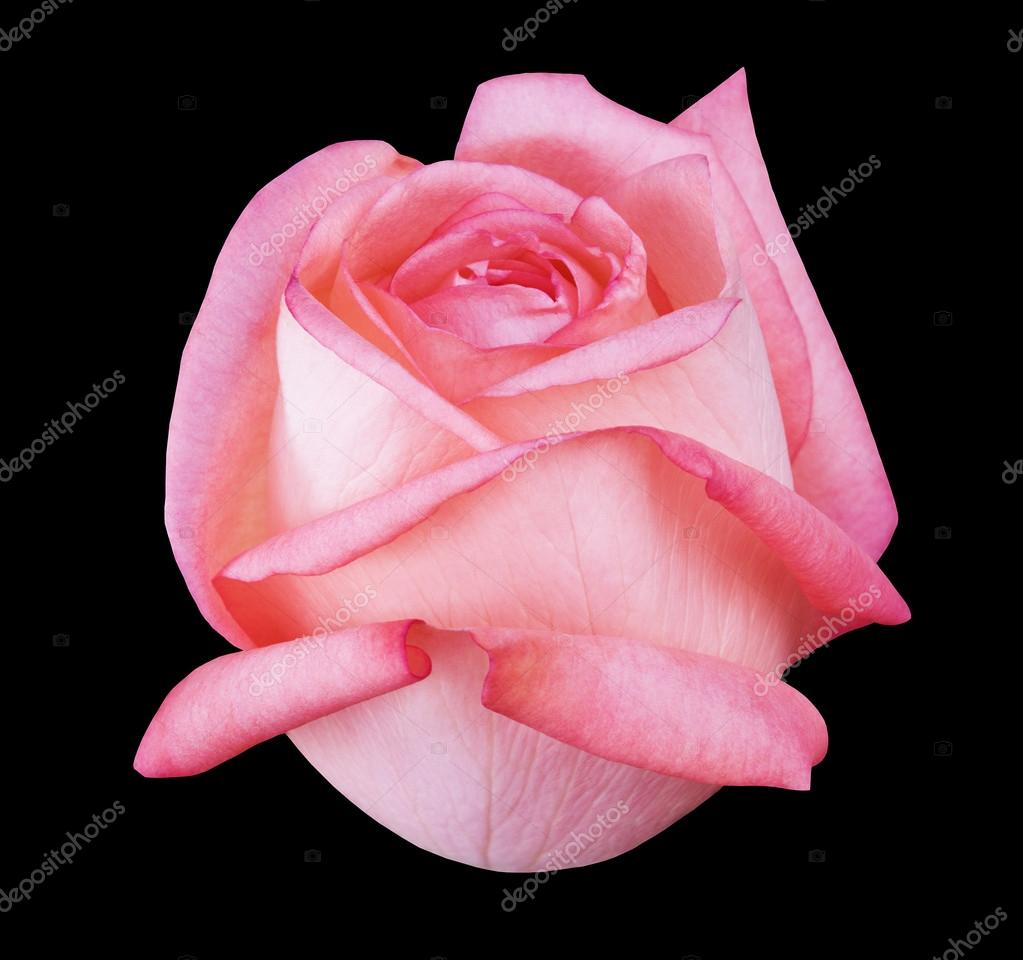 Flower rose , black isolated background with clipping path.