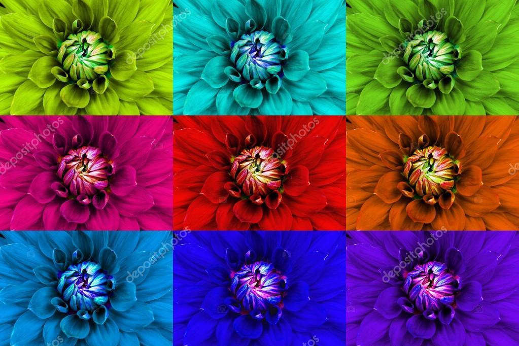 Dahlia flower closeup. Macro.