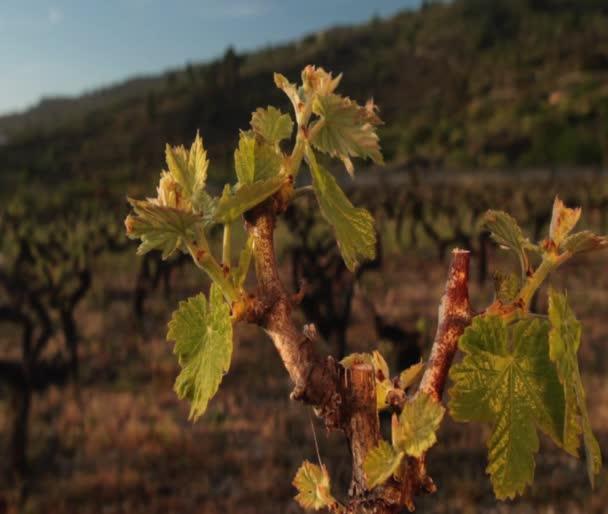 Grapevine grows on sun