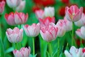 Bello tulipano rosa su sfocatura sfondo