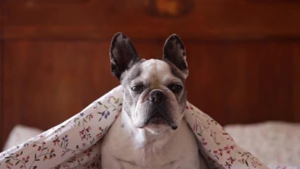 Imádnivaló francia bulldog fekszik az ágyon puha takaró alatt, és otthon pihen, miközben a kamerába néz
