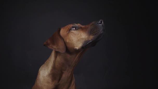 Čistokrevný ridgeback pes chycení svačinka ve studiu