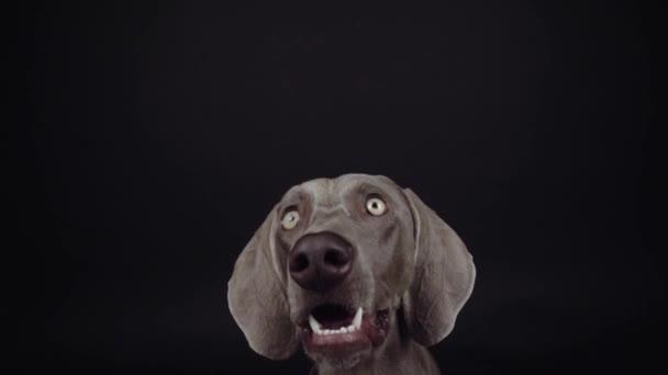 Funny Výmarník pes chycení občerstvení ve studiu na černém pozadí