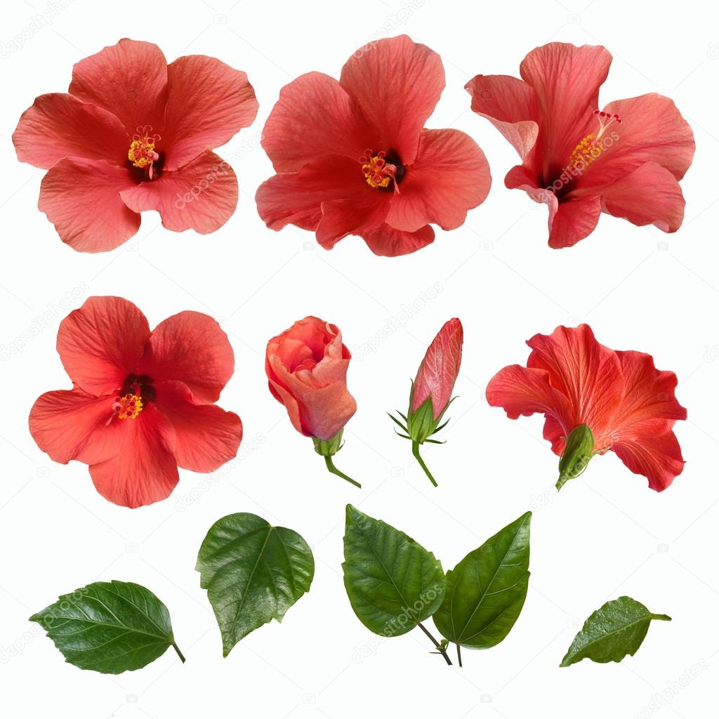 Pink hibiscus flowers buds and leaves stock photo tkorop 121960260 bright large flowers buds and leaves of pink hibiscus isolated photo by tkorop izmirmasajfo Gallery
