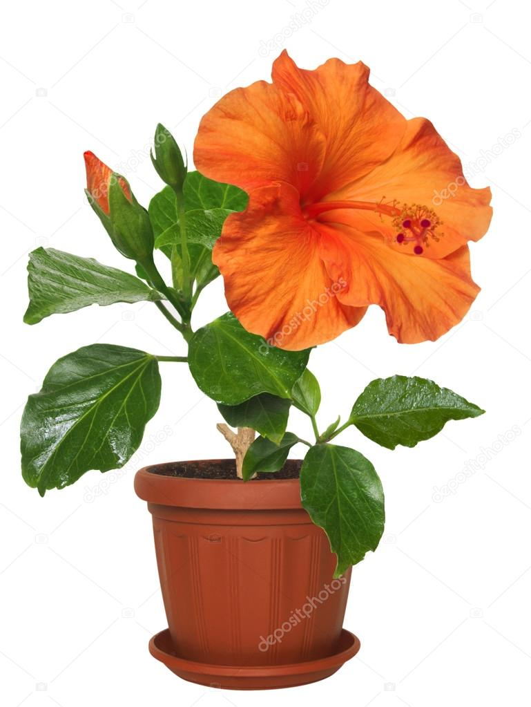potted flowers hibiscus