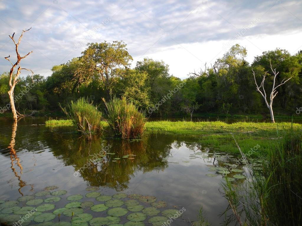 Panic Hide Lake Lotus Flowers And Forest At Kruger National Park