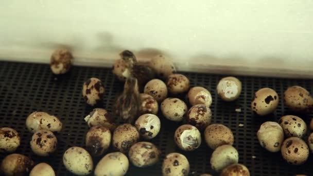 das Schlüpfen von Wachteln aus Eiern. Küken im Brutkasten. Zuchttiere auf dem Bauernhof