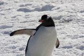 Gentoo pingvin, Antarktisz