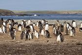 kolonie tučňáků Gentoo