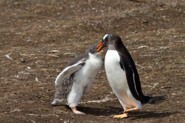 Gentoo penguin mother is feeding her chick