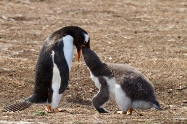 Gentoo penguin female is feeding her chick
