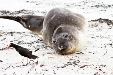Southern elephant seal looking to an oystercatcher