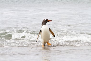 Gentoo penguin is coming home from fishing