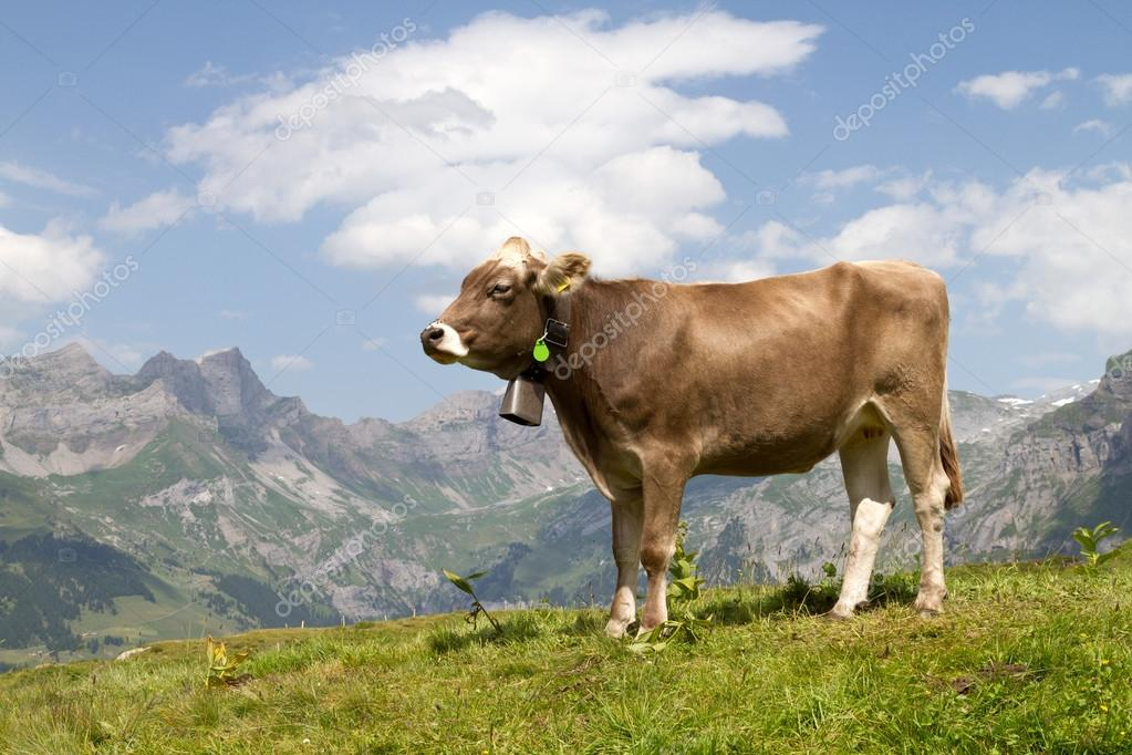 Swiss cow in nature