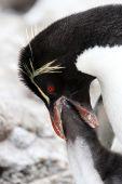 Rockhopper Penguin and chick