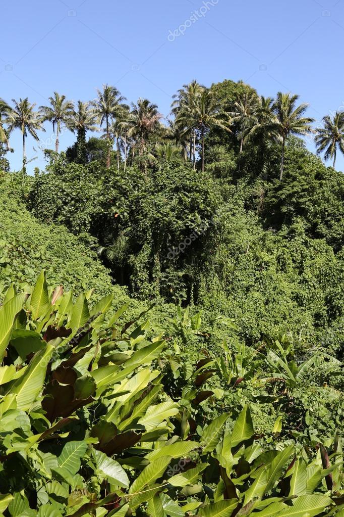 Jungle, Vanuatu