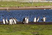 tučňáků magellanských