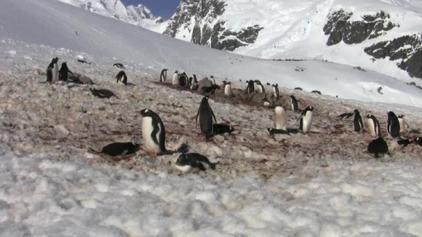 Gentoo Penguin colony, Antarctica
