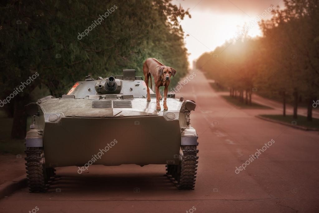 Dog breeds Rhodesian Ridgeback sits on a tank