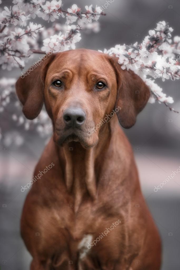 Cool Rhodesian Ridgeback Brown Adorable Dog - depositphotos_113586752-stock-photo-adorable-rhodesian-ridgeback-dog-outdoors  HD_259999  .jpg