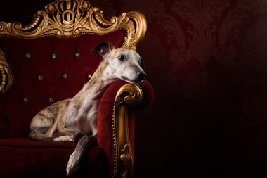 Hound in Royal interior