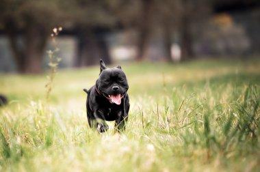 English staffordshire bull terrier running