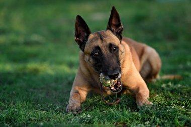beautiful belgian shepherd malinois dog puppy in autumn background