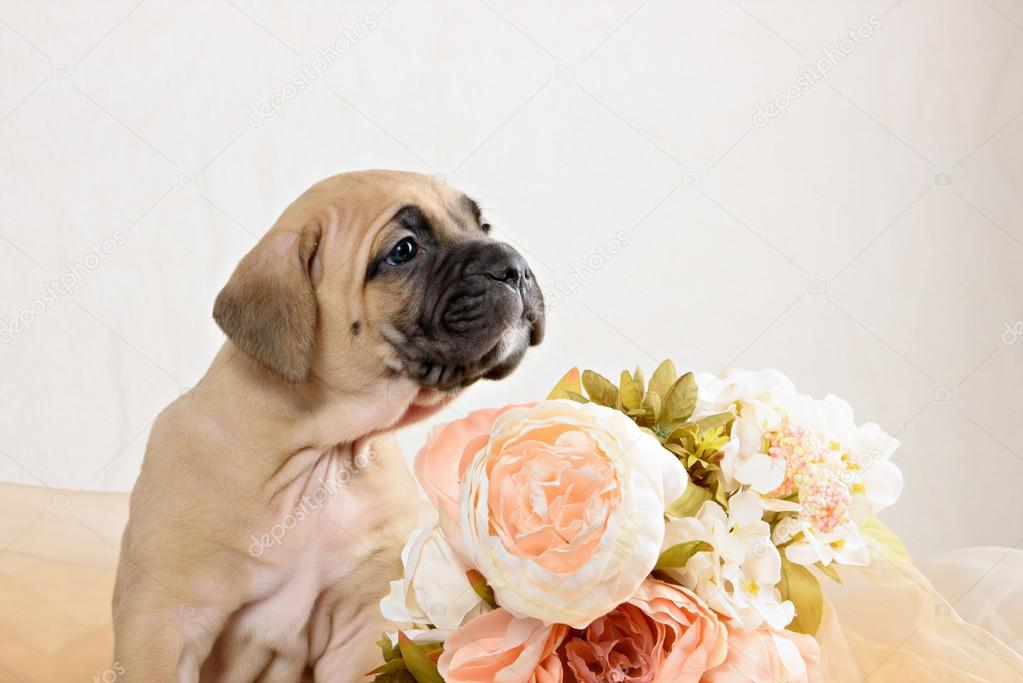 Cane Corso puppy bright red color with a bouquet of flowers peonies