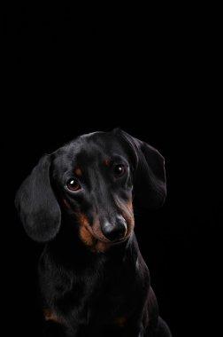 Black Dachshund isolated on black  background