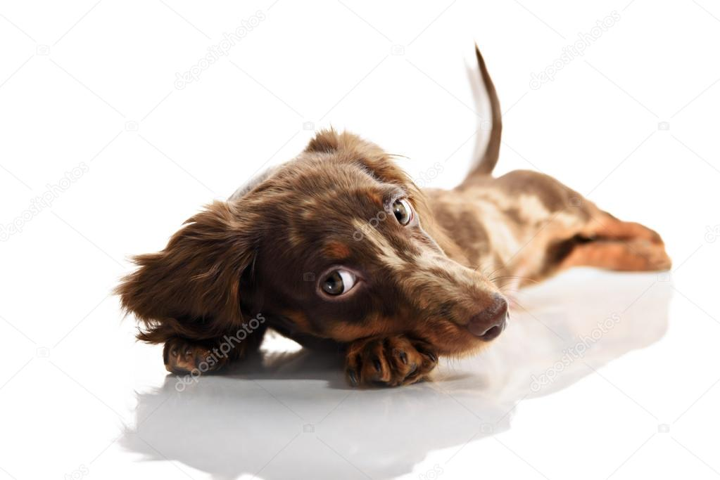 Little Cute Brown Spotted Dachshund Puppy With Big Eyes