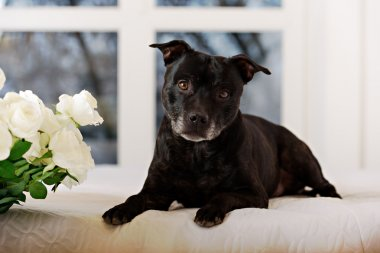 Staffordshire Bull Terrier of a white background and flowers